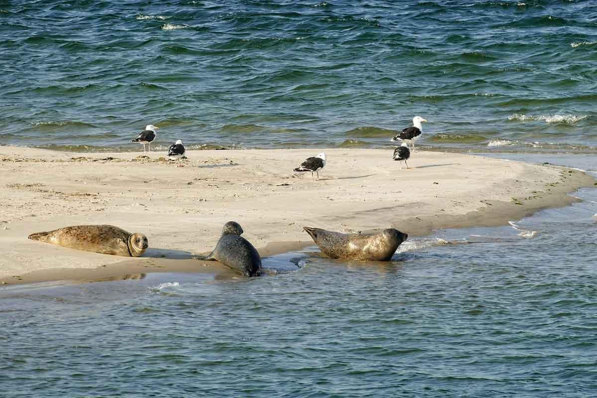 zeehonden op de wadden